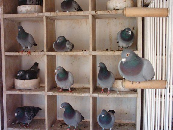 Actividad prohibida: cría de palomas